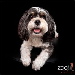 Lovable Maltese cross King Charles Cavalier Spaniel staring at the camera.