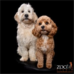 Beautiful Cavoodle and Groodle sitting next to each other.