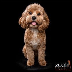 Gorgeous Cavoodle sitting pretty.