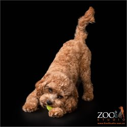 Lovable Cavoodle playing with a ball.