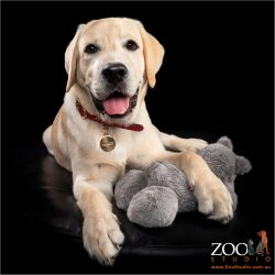 Sweet Golden Labrador puppy resting with a toy.