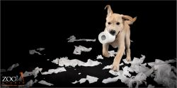 Gorgeous Golden Labrador puppy playing with a toilet roll.