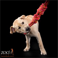 Adorable Golden Labrador puppy playing with a tug rope.