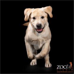 Cute Golden Retriever puppy on the move.