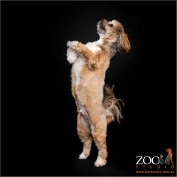 Adorable Lhasa Apso standing on his hind legs.