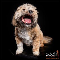 Lovable Lhasa Apso smiling at the camera.