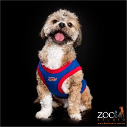 Sweet Lhasa Apso posing in his rugby top.