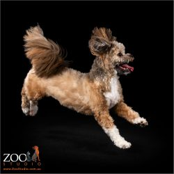 Gorgeous Lhasa Apso on the move.