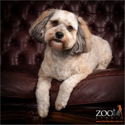 Beautiful Cavoodle sitting pretty.