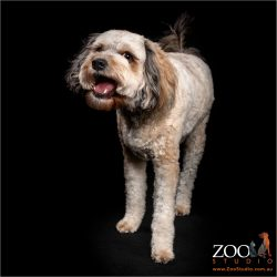 Adorable Cavoodle standing and posing.