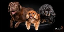 Two Cavalier King Charles Spaniels and a chocolate Labrador side by side.