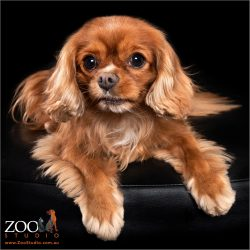 Gorgeous tan Cavalier King Charles Spaniel resting.