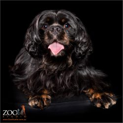 A beautiful black and tan Cavalier King Charles Spaniel posing for the camera.