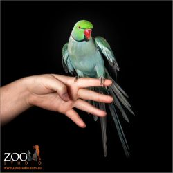Gorgeous Green Indian Ringneck Parrot on a person's hand.