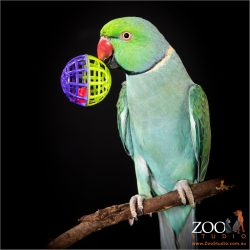 Beautiful Green Indian Ringneck Parrot playing with his toy ball.