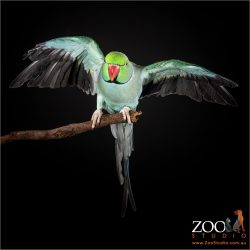 Adorable Green Indian Ringneck Parrot landing on a tree branch.