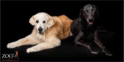 Gorgeous Golden Retriever and Black Labrador laying next to each other.