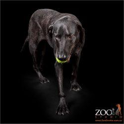 Adorable Black Labrador playing with a ball.