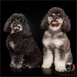 Adorable Cavoodles sitting side by side.