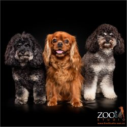 Gorgeous Cavoodles and Cavalier King Charles Spaniel side by side.