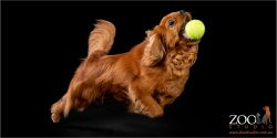 Lovable Cavalier King Charles Spaniel playing with a ball.