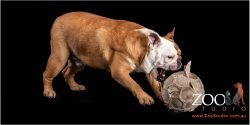 Adorable British Bulldog playing with an old soccer ball.
