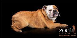 Gorgeous British Bulldog having a lay down.