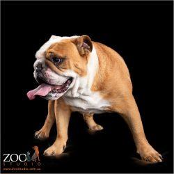 Beautiful British Bulldog side profile.