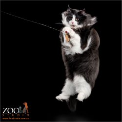 Gorgeous black and white Norwegian cat leaping to catch a toy.