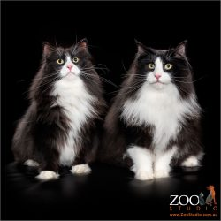 Beautiful pair of black and white Norwegian cats side by side.