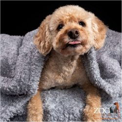 Sweet Cavoodle wrapped in a blanket.