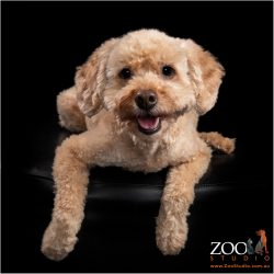 Gorgeous Cavoodle laying on an ottoman.