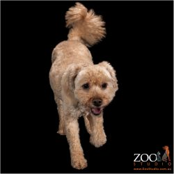 Beautiful Cavoodle on the move.