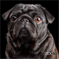 Sweet black Pug close up.