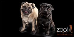 Two beautiful Pugs side by side.