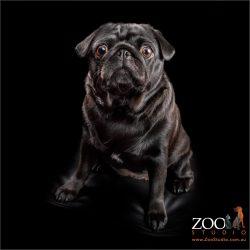Gorgeous black Pug sitting pretty.