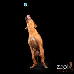 Sweet Rhodesian Ridgeback playing with a ball.