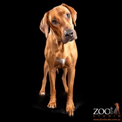 Gorgeous Rhodesian Ridgeback looking inquisitively.