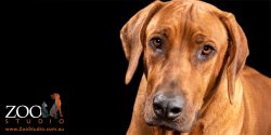 Adorable Rhodesian Ridgeback close up.