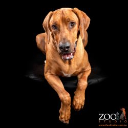 Beautiful Rhodesian Ridgeback sitting nicely on an ottoman.