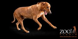 Lovely Rhodesian Ridgeback on the move.