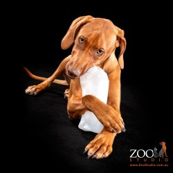 Lovely Rhodesian Ridgeback chewing on a plastic container.