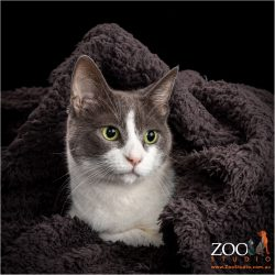 Beautiful grey and white DSH cat snuggled under a blanket.