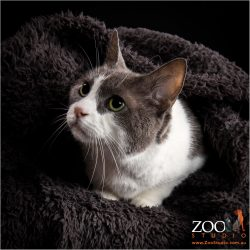 Adorable grey and white DSH cat under a blanket.