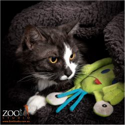 Lovely black and white DSH cat playing with a toy.
