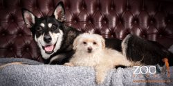 Gorgeous Kelpie x Husky and Maltese Terrier laying together.