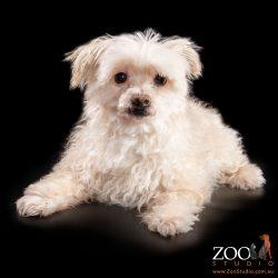 Beautiful Maltese Terrier sitting pretty.