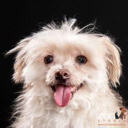 Close up of an adorable Maltese Terrier.