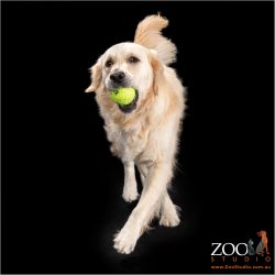 Adorable Golden Retriever playing with a ball.