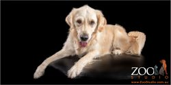 Beautiful Golden Retriever laying on an ottoman.